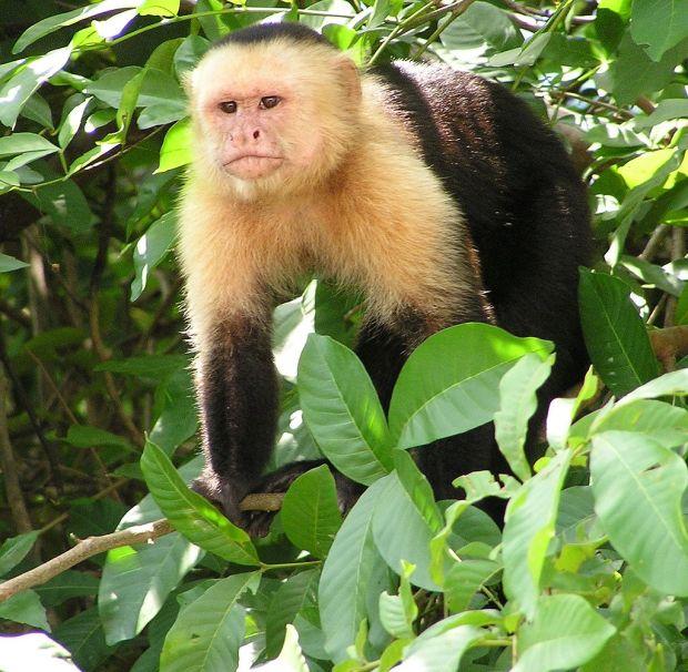 1024px-Capuchin_Costa_Rica